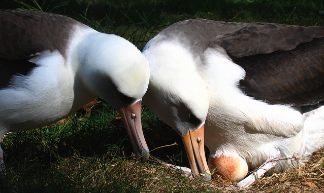 Laysan albatross pair with egg