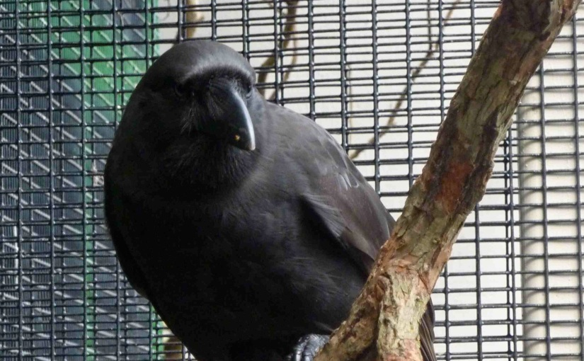 Living with crows