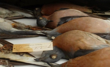 Passenger Pigeons Photo: http://longnow.org/revive/passenger-pigeon-workshop/