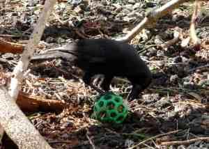 A Hawaiian crow being 'enriched'. KBCC Hawai'i.