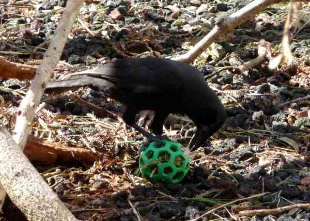 A Hawaiian crow being 'enriched'. KBCC Hawai'i.