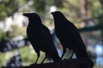 Two Torresian Crows