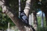 A Torresian Crow