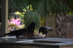 A Toressian crow family - juvenile in the middle