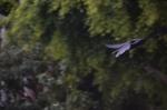 A Torresian Crow in flight