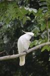 Sulphur Crested Cockatoo
